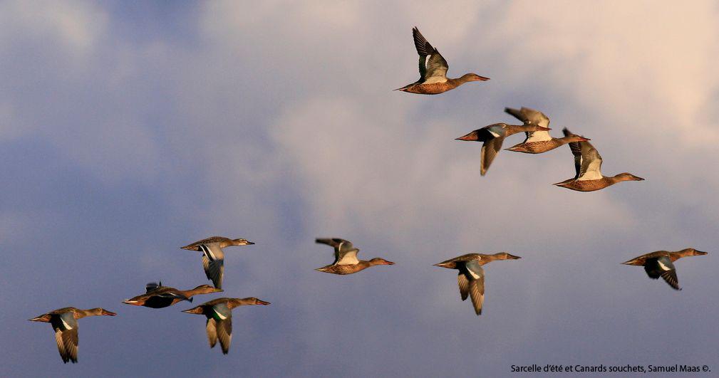 http://files.biolovision.net/franche-comte.lpo.fr/userfiles/observer/Wetlands/Canardsenvol.jpg
