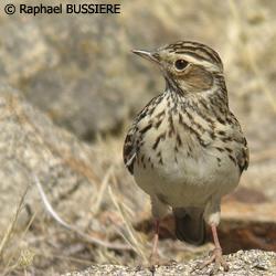http://files.biolovision.net/haute-savoie.lpo.fr/images/birds/Alouette_lulu-Raphael_Bussiere-5607.jpg