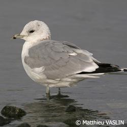 http://files.biolovision.net/haute-savoie.lpo.fr/images/birds/Goeland_cendre-Matthieu_Vaslin-2263.jpg
