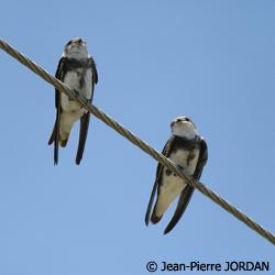 http://files.biolovision.net/haute-savoie.lpo.fr/images/birds/Hirondelle_de_rivage-Jean-Pierre_Jordan-7157.jpg