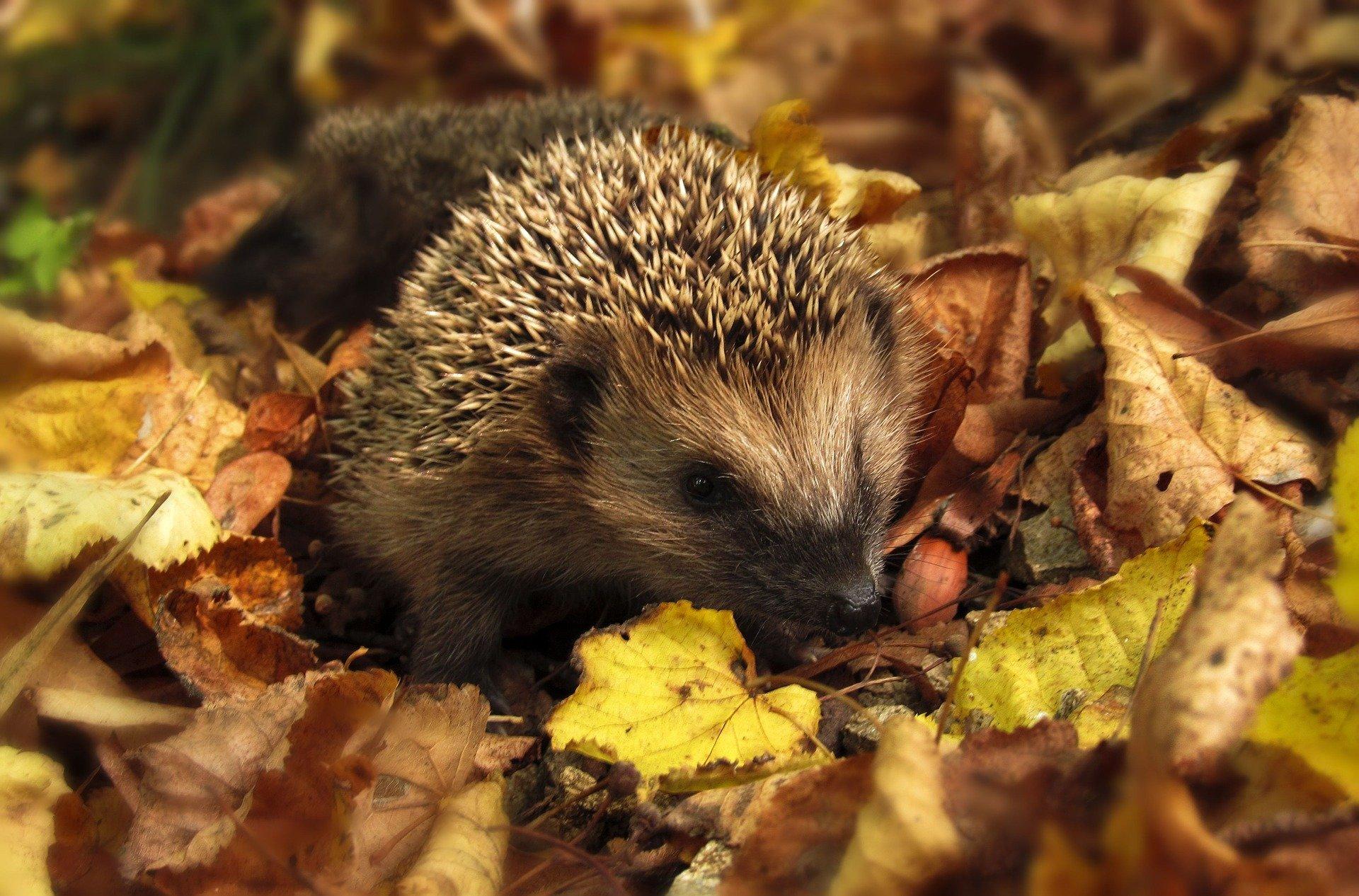 http://files.biolovision.net/haute-savoie.lpo.fr/userfiles/Pixabay-hedgehog-9853151920.jpg