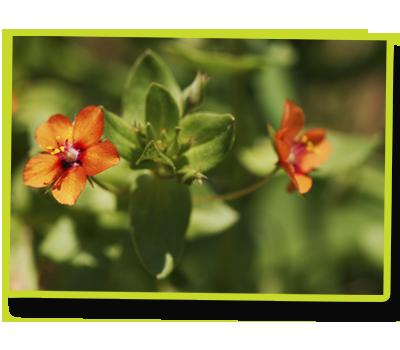 Mouron rouge (Anagallis arvensis) © Samuel Ducept.png
