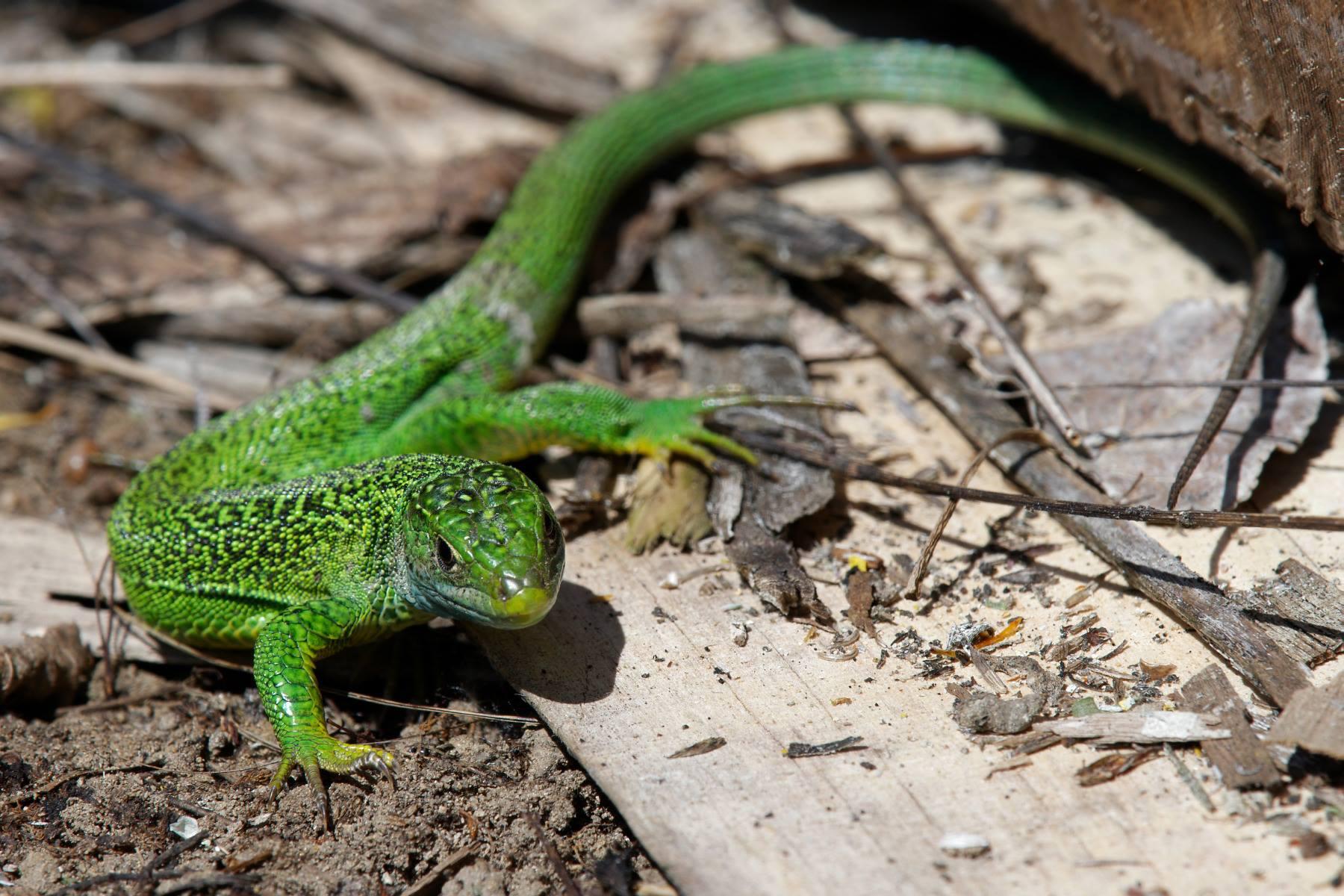 http://files.biolovision.net/www.faune-ain.org/userfiles/GroupeHerpeto/Photossortie/1805601813074888026732208867192261523638647o.jpg
