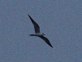 http://files.biolovision.net/www.faune-ain.org/userfiles/Illustrations/SternehanselPC2012-04-29.jpg