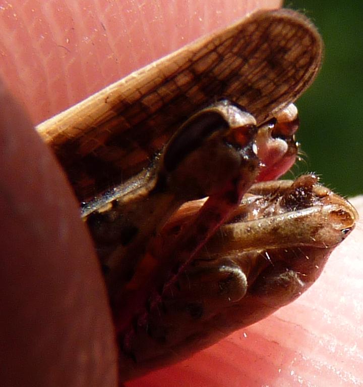 http://files.biolovision.net/www.faune-alsace.org/userfiles/Insectes/ORTHOPTERA/Calliptamus/P1080371PallliumCalitalicusM.jpg