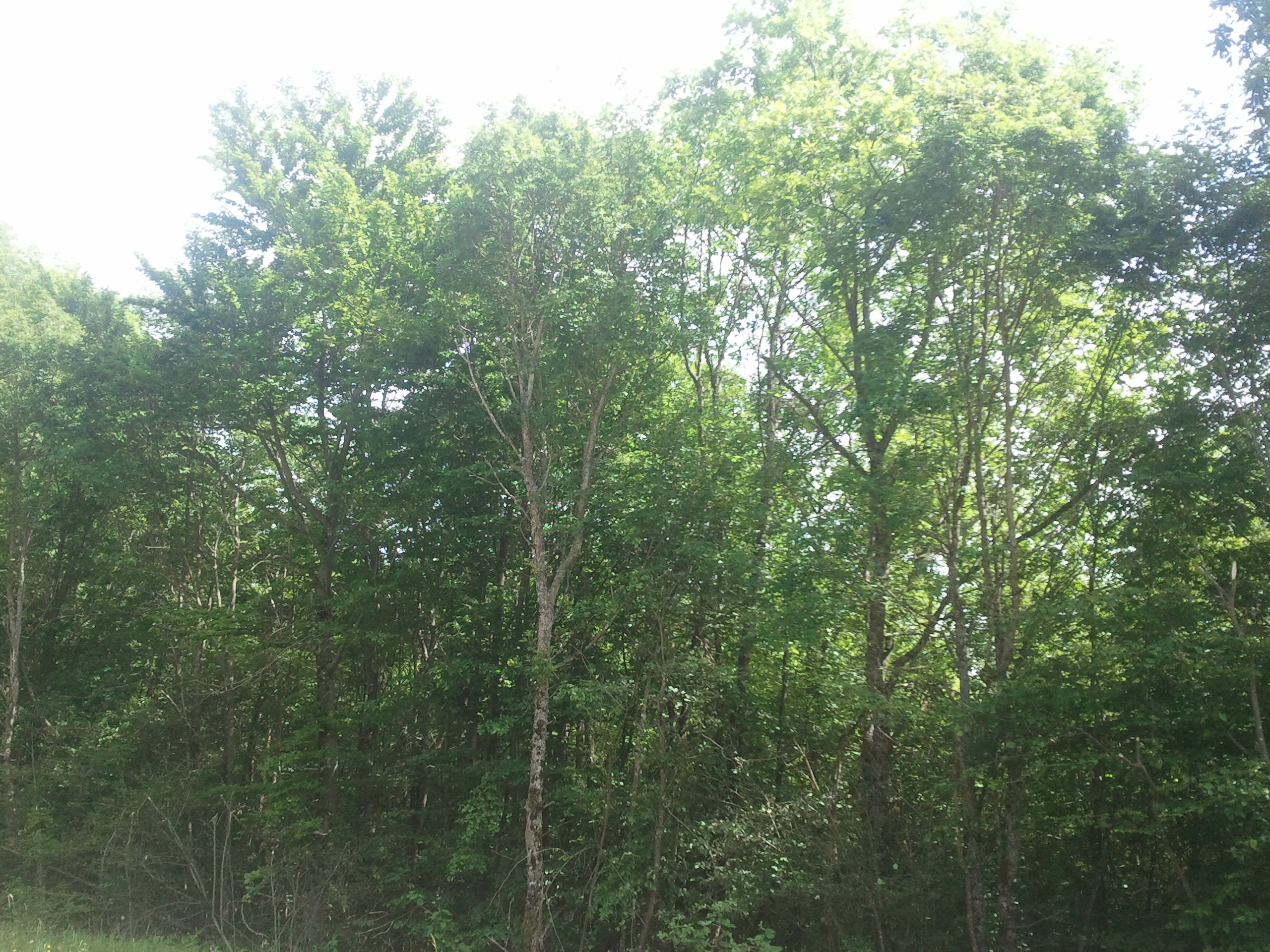 http://files.biolovision.net/www.faune-alsace.org/userfiles/Insectes/cigales/Cicadettacantilatrix-Pfaffenheim-20140521.jpg