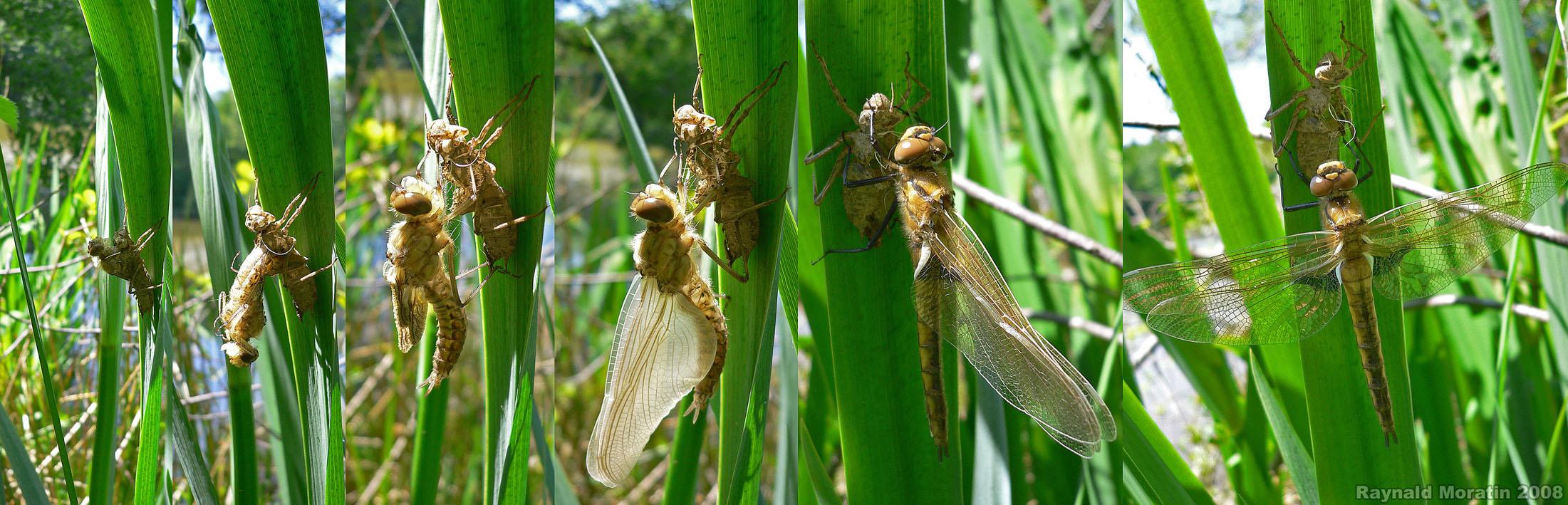 http://files.biolovision.net/www.faune-alsace.org/userfiles/Insectes/epitheca/EpiBimaRMoratincond.jpg