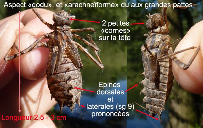 http://files.biolovision.net/www.faune-alsace.org/userfiles/Insectes/epitheca/epitheca-description.jpg