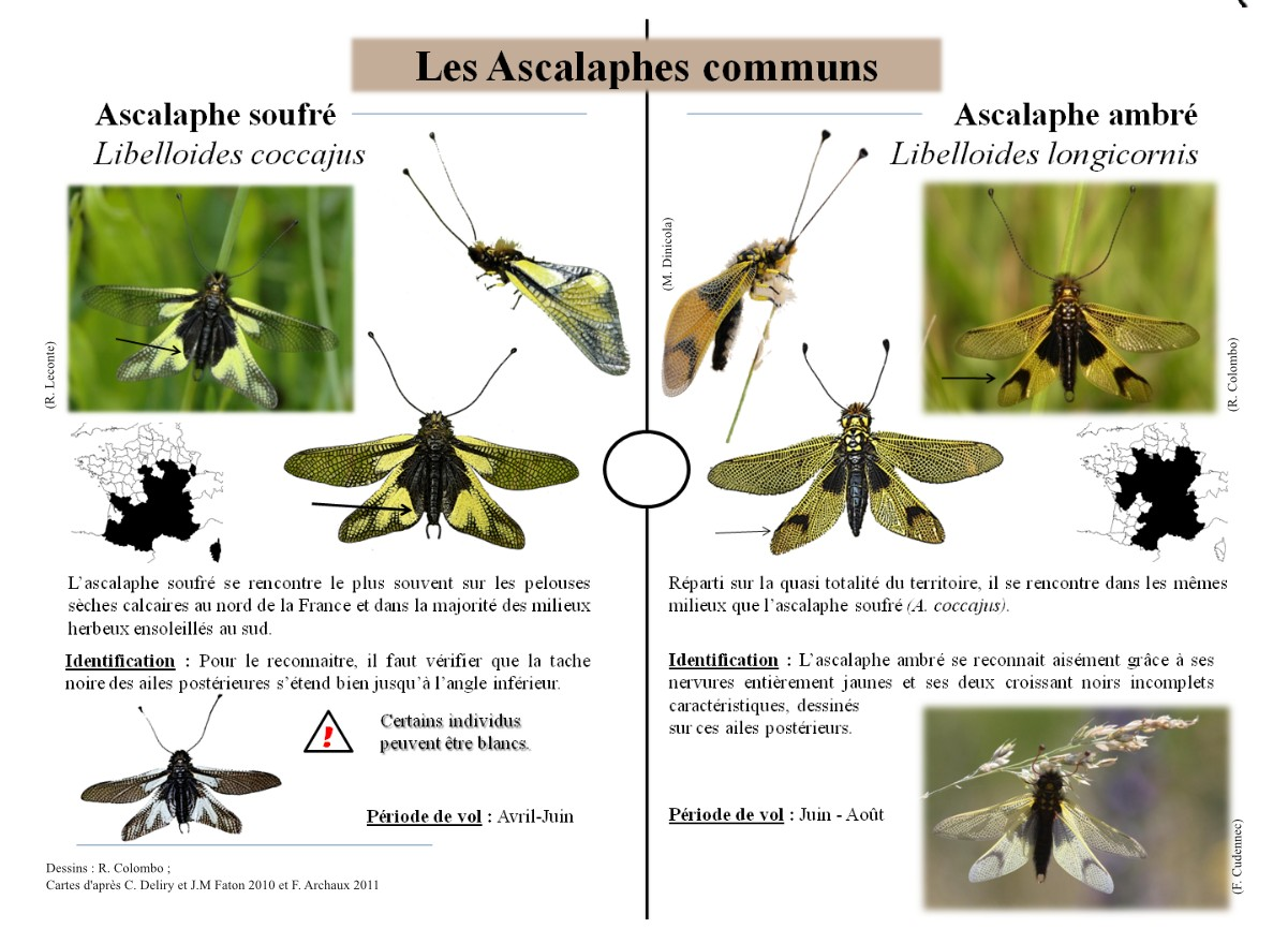 http://files.biolovision.net/www.faune-alsace.org/userfiles/Insectes/plaquetteversion4-page3.jpg