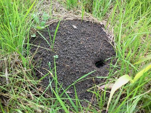 http://files.biolovision.net/www.faune-alsace.org/userfiles/gepma/MicroMamm/campagnolfabricecapber.jpg