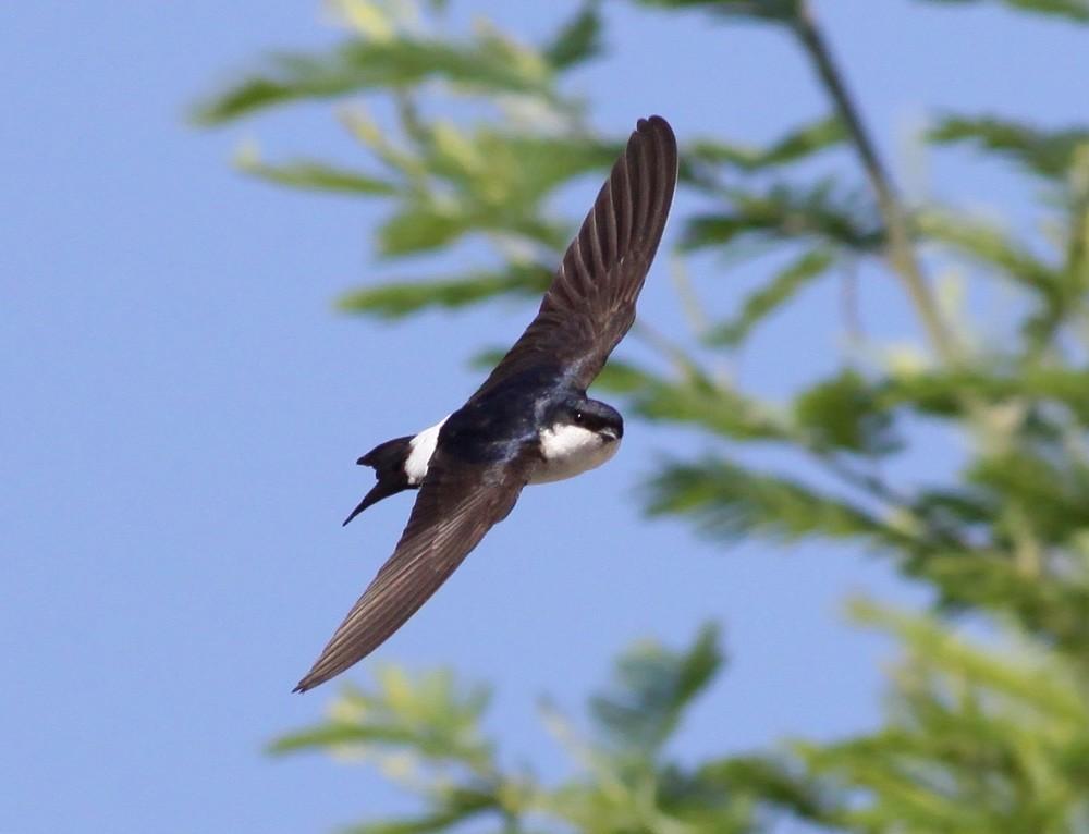 http://files.biolovision.net/www.faune-champagne-ardenne.org/userfiles/OiseauDeLAnnee/HirondelledefentreRenDumoulin.jpg