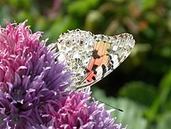 http://files.biolovision.net/www.faune-champagne-ardenne.org/userfiles/papillons/belledamept.jpg