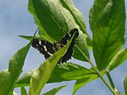 http://files.biolovision.net/www.faune-champagne-ardenne.org/userfiles/papillons/prorsapt.jpg