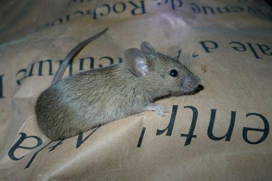 """Résultat de recherche d'images pour """"souris grise"""""""