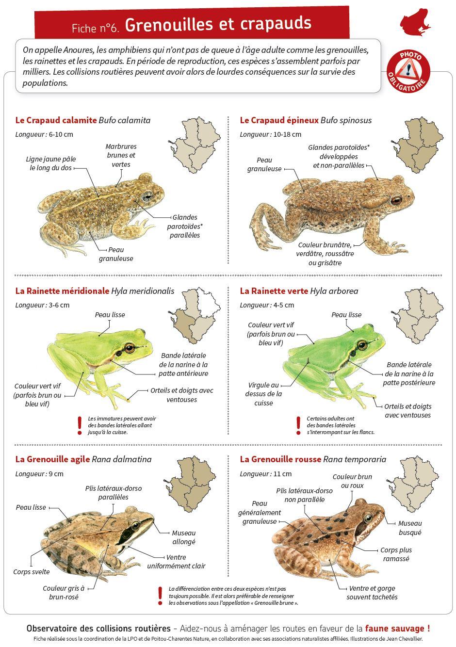 http://files.biolovision.net/www.faune-charente-maritime.org/userfiles/Fauneetroute/Capturegrenouillecrapauds.JPG