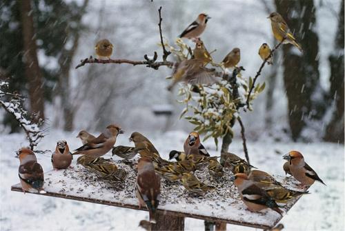 Les oiseaux du jardin en hiver images for Entretien du jardin en hiver