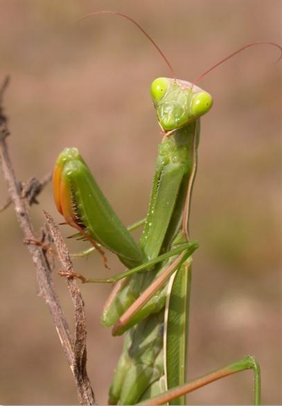 Mante religieuse Mantis religiosa – Cliché : Philippe Jourde