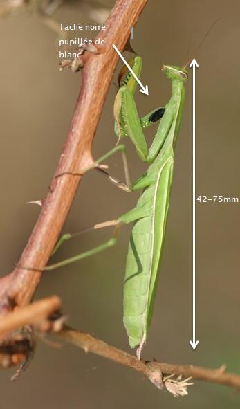Mante religieuse Mantis religiosa adulte – Cliché : Philippe Jourde
