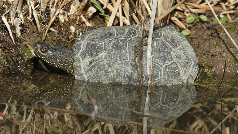 http://files.biolovision.net/www.faune-charente-maritime.org/userfiles/Reptiles/Emyorb.jpg