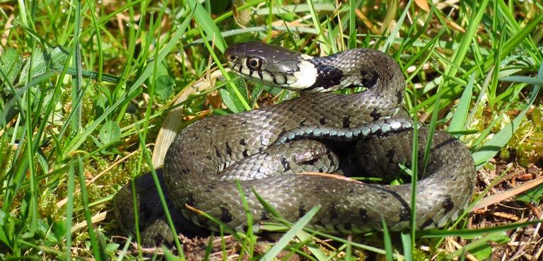 http://files.biolovision.net/www.faune-charente-maritime.org/userfiles/Reptiles/NatnatOK.jpg
