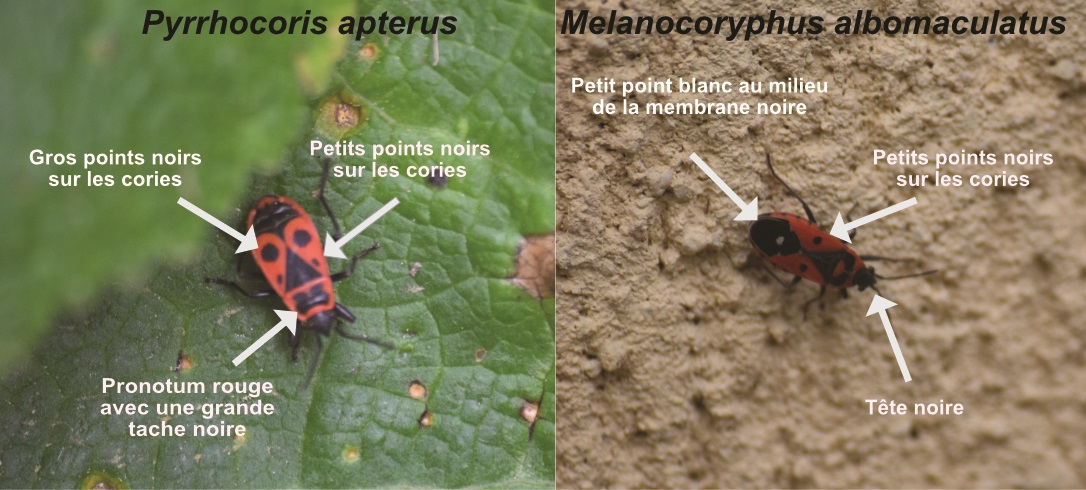 http://files.biolovision.net/www.faune-cher.org/userfiles/punaiserouge.jpg