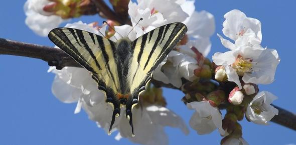 http://files.biolovision.net/www.faune-france.org/userfiles/NEws/FlambMarcBrenezechlite.jpg