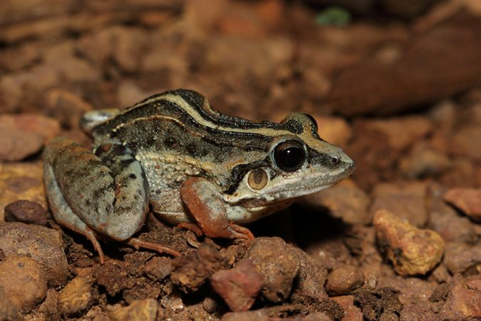 http://files.biolovision.net/www.faune-guyane.fr/userfiles/Documentsdivers/Amphibiens/LeptodactylusfuscusCounamama261019M.Perrierfg39413.jpg