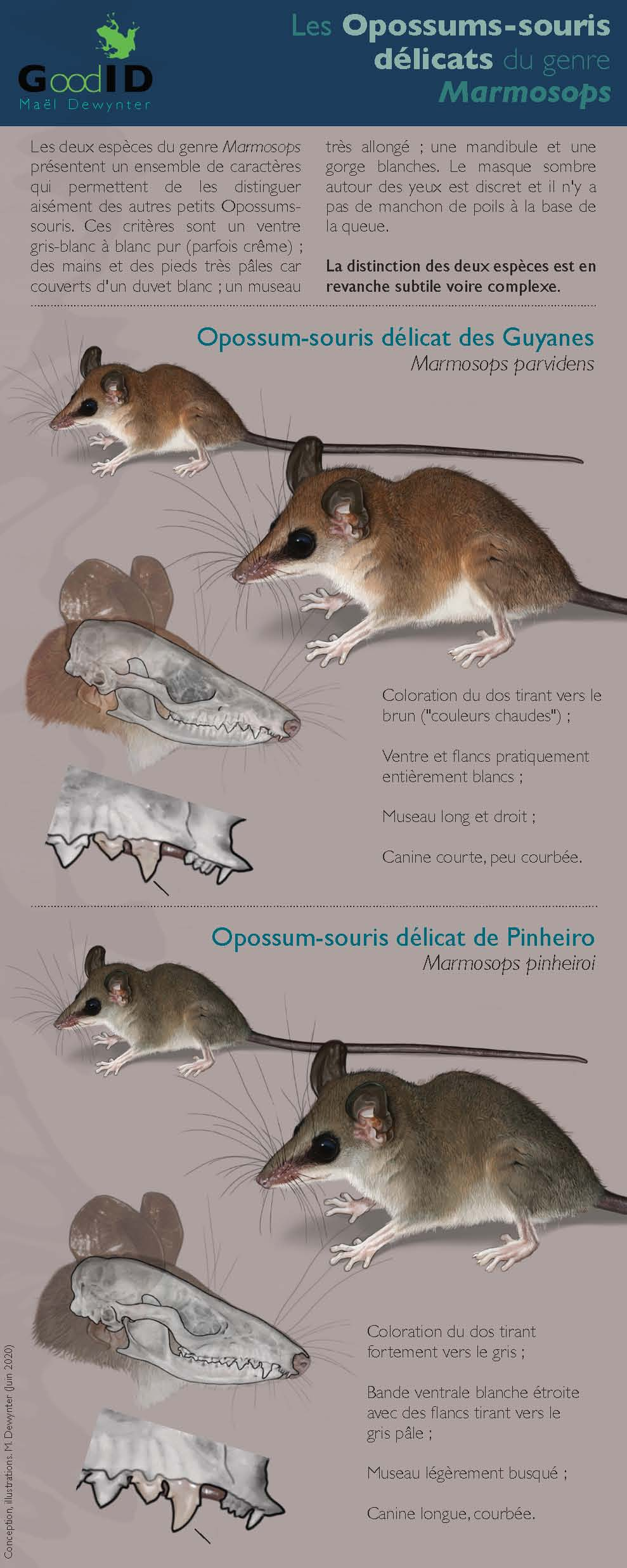 http://files.biolovision.net/www.faune-guyane.fr/userfiles/Documentsdivers/Mammifres/IdentificationdesMarmosopsv2020.jpg
