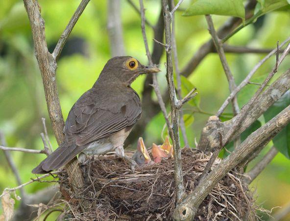 http://files.biolovision.net/www.faune-guyane.fr/userfiles/Documentsdivers/Oiseaux/TurdusnudigenisLarivot180320O.Tostainfg43901.jpg