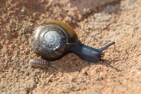 http://files.biolovision.net/www.faune-limousin.eu/userfiles/Mollusques/65-3646022-5332.jpg