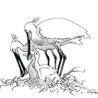 http://files.biolovision.net/www.faune-loire-atlantique.org/userfiles/Spatule1.jpg