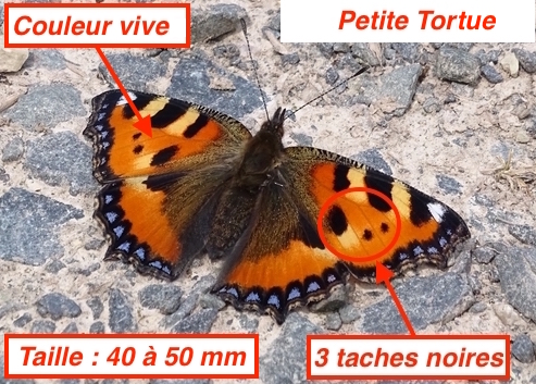http://files.biolovision.net/www.faune-lorraine.org/userfiles/PetiteTortueLT.jpg
