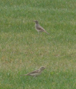 Pipits rousselines