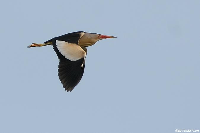 Blongios nain mâle en vol