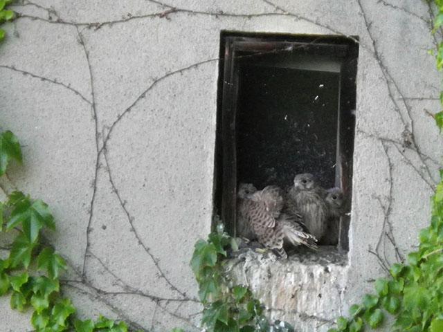 Jeunes Faucons crécerelles au nid