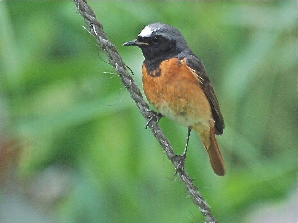 Pr sentation de l 39 esp ce for Liste oiseaux des jardins