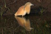 Crabier chevelu Ardeola ralloides