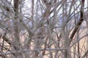 Chevêchette d'Europe Glaucidium passerinum