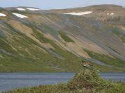 Pluvier doré Pluvialis apricaria