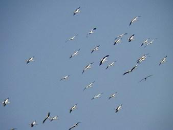 Cigognes blanches - R. Riols
