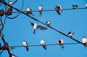 Hirondelles de fenêtre se rassemblant pour migrer Y. Hermieux
