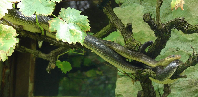 http://files.biolovision.net/www.nature79.org/userfiles/COINnaturaliste/herpeto/couleuvreesculapemontign150708rouiller.jpg