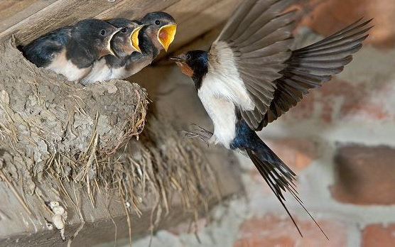http://files.biolovision.net/www.nature79.org/userfiles/HIRONDELLE/HirondellerustiqueArkive2.jpg