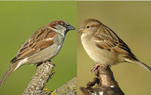 http://files.biolovision.net/www.oiseauxdesjardins.fr/userfiles/MoineaudomestiquemleetfemelleCroset.jpg