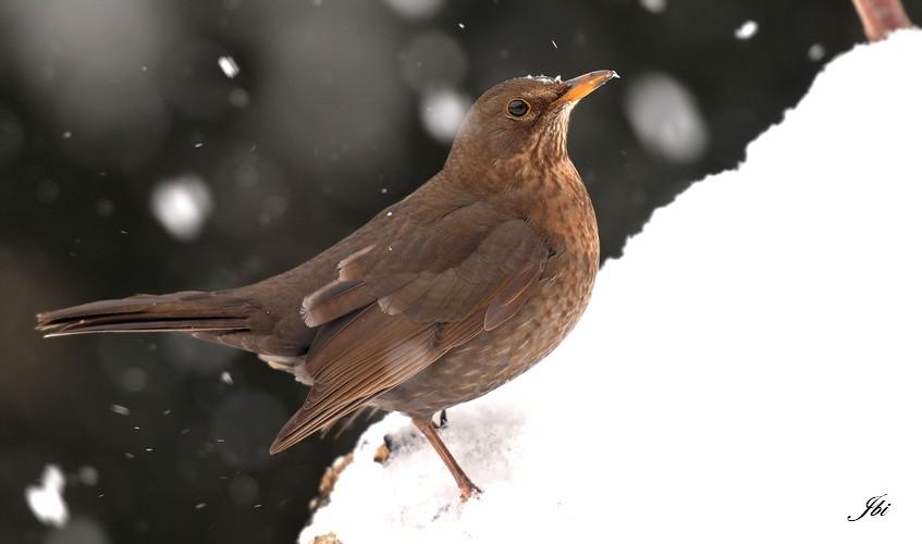 http://files.biolovision.net/www.oiseauxdesjardins.fr/userfiles/merlenoir-femelleJeanBisetti.jpg