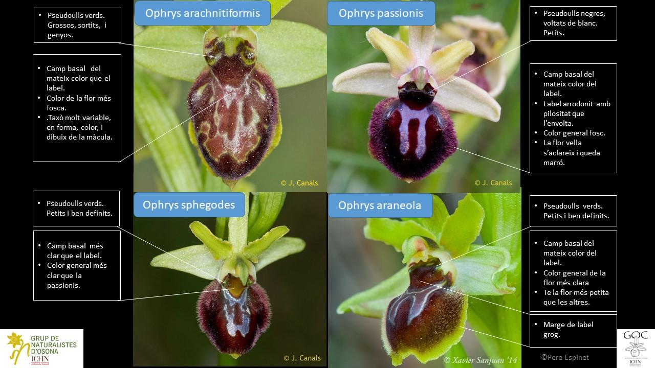 http://files.biolovision.net/www.ornitho.cat/userfiles/Orquis/GrupSphegodes.jpg