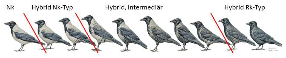 http://files.biolovision.net/www.ornitho.de/userfiles/infoblaetter/Anleitungen/Hybridkraehen-Duquet.jpg
